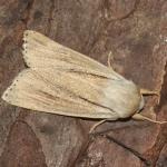 Simyra albovenosa - Zandvliet ~ Groot Buitenschoor (Antwerpen) 15-08-2021 ©Steve Wullaert