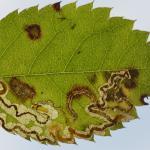 Stigmella anomalella - Furfooz ~ Parc naturelle de Furfooz (Namen) 09-10-2021 ©Steve Wullaert