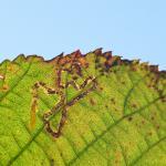 Stigmella aurella - Zichem ~ De Demerbroeken (Vlaams-Brabant) 20-10-2018 ©Steve Wullaert