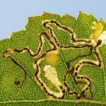 Stigmella betulicola - Kalmthout ~ De Kalmthoutse Heide - Langven (Antwerpen) 28-09-2019 ©Damien Gailly