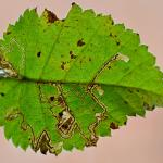 Stigmella betulicola - Sociale berkenmineermot