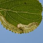 Stigmella catharticella - Furfooz ~ Parc naturelle de Furfooz (Namen) - 27-06-2020 ©Steve Wullaert