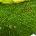 Stigmella continuella Groene berkenmineermot