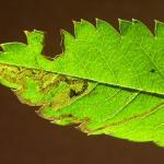 Stigmella nylandriella Gewone lijsterbesmineermot