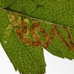 Stigmella oxyacanthella - Furfooz ~ Parc naturelle de Furfooz (Namen) 09-10-2021 ©Steve Wullaert