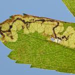 Stigmella regiella - Zichem ~ De Demerbroeken (Vlaams-Brabant) 20-10-2018 ©Steve Wullaert