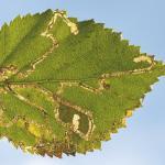 Stigmella sakhalinella - Arlon ~ Domaine Privé (Luxemburg) 11-09-2021 ©Steve Wullaert