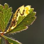 Stigmella thuringiaca - Agrimoniemineermot