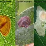 Tischeria dodonaea - decidua - ekebladella.