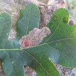 Tischeria decidua - Hoefijzervlekmot