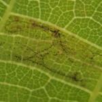 Caloptilia roscipennella - Walnootsteltmot