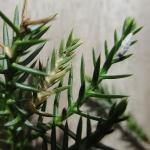 Argyresthia reticulata - Zuidelijke pedaalmot