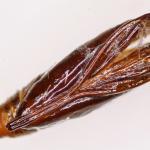 Mompha locupletella - Basterdwederikmot