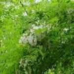 Robinia pseudoacacia (robinia) - KU-Leuven ~ Plantengids ©Paul Busselen