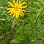 Valkruid - Arnica montana