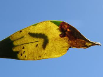 Celypha woodiana - Maretakbladroller