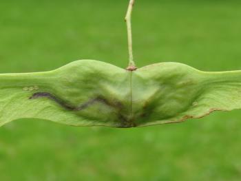 Ectoedemia louisella - Akenvruchtmineermot