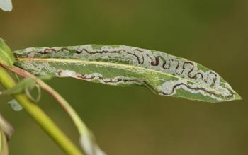 Phyllocnistis saligna - Wilgenslakkenspoormot