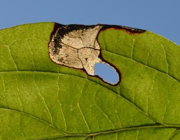 Antispila petryi - Rode kornoeljegaatjesmaker