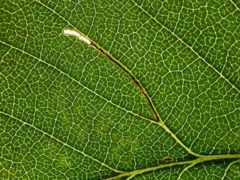Bucculatrix ulmifoliae - Donkere iepenooglapmot