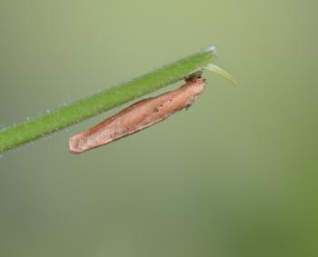 Coleophora lithargyrinella - Bruine muurkokermot
