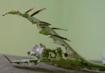 Coleophora peribenanderi - Distelkokermot