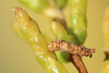 Coleophora salicorniae - Zeekraalkokermot