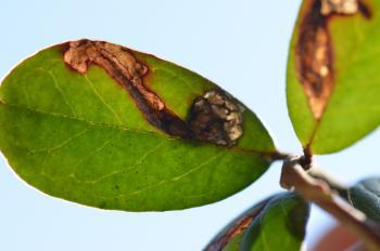 Rhopobota ustomaculana - Prachtbosbesbladroller