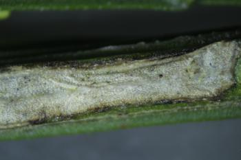 Phyllonorycter scopariella - Bremstengelvouwmot