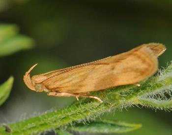 Orophia ferrugella