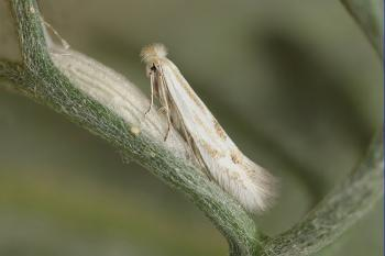 Bucculatrix artemisiella - averuitooglapmot