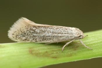 Elachista pollutella - Bestoven kweekmineermot
