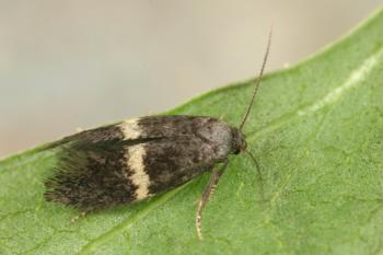 Elachista unifasciella - Dwarsbandgrasmineermot
