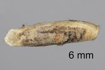 Coleophora vestianella - Zandmeldekokermot