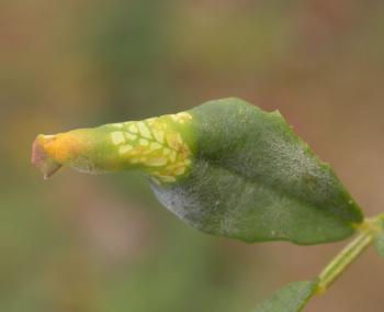 Phyllonorycter medicaginella - Honingklavervouwmot