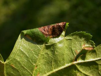Parornix anglicella - Meidoornzebramot
