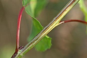 Phyllocnistis extrematrix - peppeltwijgmineermot