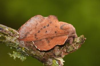 Phyllodesma tremulifolium - Beauraing ~ Grand Quarti (Namen) 23-05-2021 ©Steve Wullaert