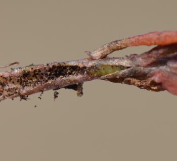 Glyphipterix equitella - Duinparelmot