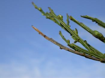 Trifurcula immundella - Gewone drievorkmot
