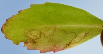 Yponomeuta sedella - Hemelsleutelstippelmot