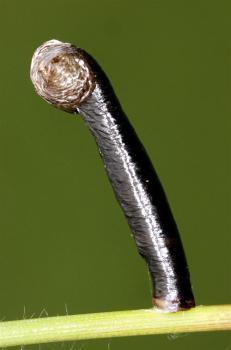 Coleophora vibicella - Grote goudkokermot