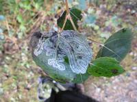 Phyllocnistis labyrinthella - Labyrintmot