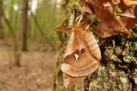 Aglia tau (tauvlinder) - Beauraing ~ Grand Quarti (Namen) 01-05-2021 ©Wouter Mertens
