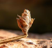 Coleophora saturatella - Driekleurige bremkokermot