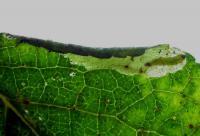 Coptotriche gaunacella - Sleedoornvlekmot