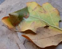 Caloptilia alchimiella - Goudvleksteltmot