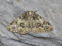 Cleorodes lichenaria - De Panne ~ Krakeelduinen (West-Vlaanderen) 20-06-2021 ©Steve Wullaert