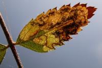 Stigmella sorbi Lijsterbesblaasmijnmot