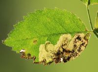 Ectoedemia angulifasciella Rozenblaasmijnmot